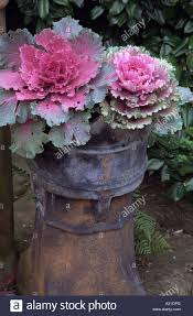 up of pink ornamental cabbage in reclaimed chimney pot stock