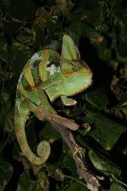 native plants fort myers chameleons everglades cisma