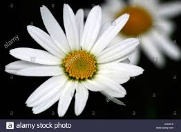 leucanthemum x superbum snowcap shasta daisy daisies perennials