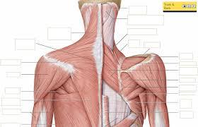 Abdominal Anatomy Quiz Human Anatomy Muscle Quiz Www Uocodac Com