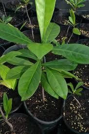 native edible plants australia native gardenia randia fitzalanii