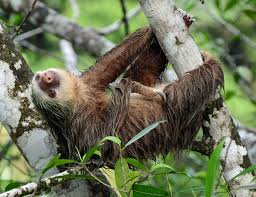 4 toed sloth hoffmann s two toed sloth