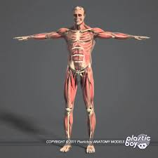 Human Anatomy In Pdf 3d Anatomy Free Online At Best Anatomy Learn