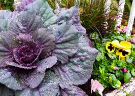 5 things to about flowering kale and cabbage garden club