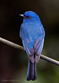 Verditer Blue Oriental Bird Club Image Database Nilgiri Verditer Flycatcher