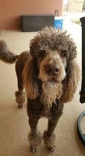 standard poodle hair styles standard poodle haircuts styles 52 best manly standard poodle cuts