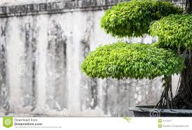 Outdoor Potted Plants Full Sun by Green Lush Foliage Of Bonsai In Sunny Weather Royalty Free Stock