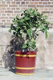 Winter Patio Plants by Planting Fig Trees In Pots U2013 How To Care For Potted Fig Trees