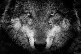 imagenes de fondo de pantalla lobos fondos de pantalla lobo contacto visual hocico animalia descargar