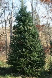 bohman christmas tree farm