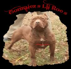 american pitbull terrier kennels in michigan welcome to i g s u0027southern reds