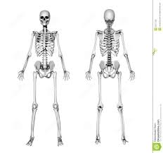 Appendicular Skeleton Worksheet Human Anatomy Chart Page 169 Of 202 Pictures Of Human Anatomy Body