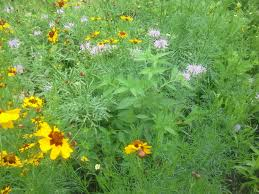native plant plugs spring u2026weed plant contemplate the meadow