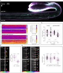 tir1 afb aux iaa auxin perception mediates rapid cell wall