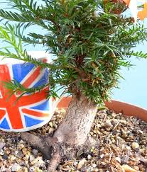 bonsai tree material clearance sale yew