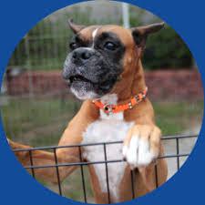 boxer dog for adoption home louisiana boxer rescue