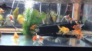 small fancy goldfish for sale