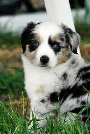 australian shepherd coat colors australian shepard puppy we want we do we have u003c3 pinterest