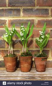 lily of the valley convallaria majalis in old terracotta pots