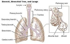 Gross Anatomy Of The Human Heart Lung Wikipedia