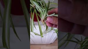 Spider Plant by 123 Spider Plant Baby Transfer Youtube