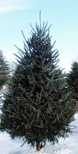 fraser fir christmas tree real live fresh mail order 9 fraser fir christmas trees online