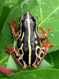 file tree frog congo jpg wikimedia commons