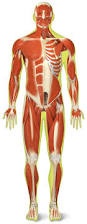 Human Body Muscles Images What Are Muscles What Do Muscles Do Dk Find Out