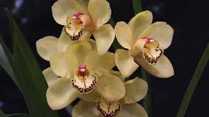 cymbidium orchids how to divide and repot cymbidium orchids