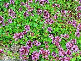 thym serpolet cuisine thymus serpyllum thym serpolet plantation culture