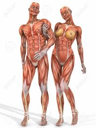 Female Muscles Anatomy Female And Male Anatomic Body Couple Stock Photo Picture And
