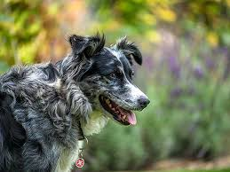 australian shepherd not eating having dog behavior problems
