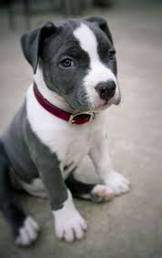 Seeking Pitbull 848 Best Pittie Images On Doggies Pit Bull And
