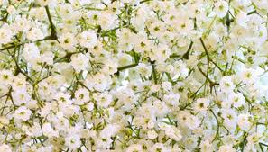 baby s breath flowers how to baby s breath flowers garden guides