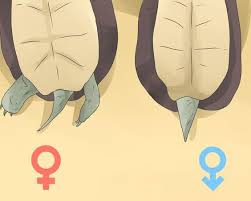 Anatomy Difference Between Male And Female To Tell Between Male U0026 Female Russian Tortoise Sexes