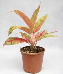 buy aglaonema pink color plant online at best prices in india