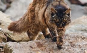Texas Wild Animals images Wild cats of the texas hill country jpg