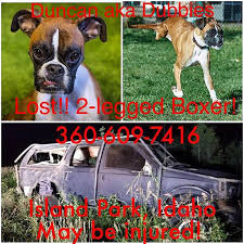 rescue a boxer dog dog who ran off after idaho car crash is found safe daily mail