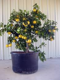 Winter Patio Plants by Patio Citrus For Texas