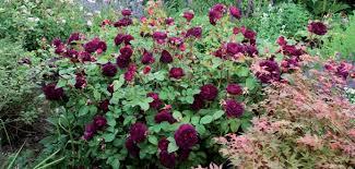 english rose shrubs david austin roses