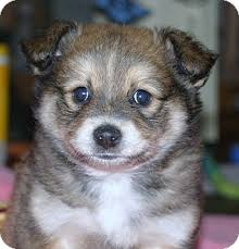 australian shepherd for sale california matteo adopted puppy santa ana ca pomeranian australian