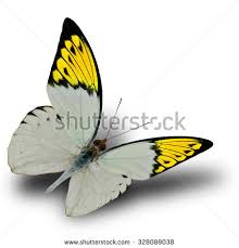 free photos beautiful white butterfly with orange wing tips flying