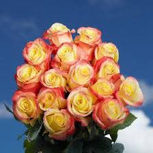 yellow roses with tips 36 best 50 roses images on wholesale roses cut