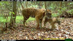captures tiger cubs in forest imminent threat of