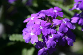different types of purple what kind of flowers are purple my web value