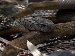 vidio film ular anaconda cobra vs rat snake