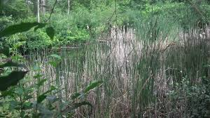 wetland swamp in my back yard for birds deer turtles ducks geese