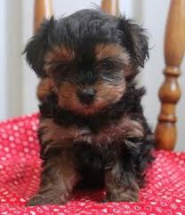 affenpinscher puppies for sale in ohio rascal yorkie poo puppy for sale from christiana pa greenfield