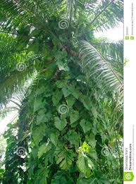 climbing plant on palm tree royalty free stock photography image