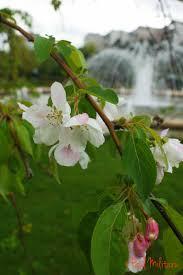 tree flowers after paul militaru